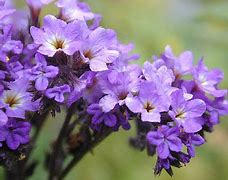 The heliotrope flower