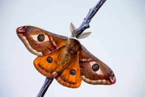 picture of an emperor moth
